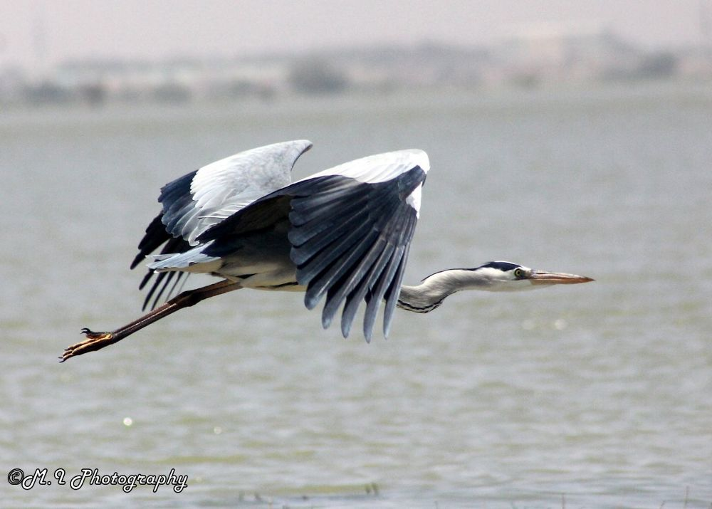 grey heron by Mohamed Ismael