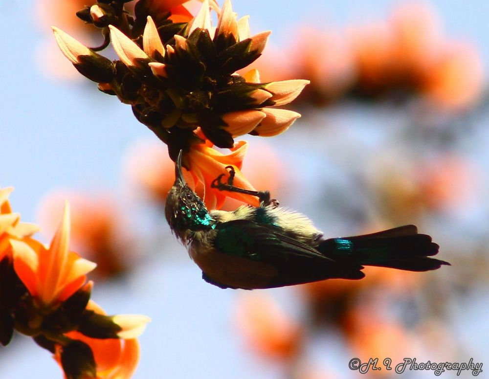 Nile Valley Sunbird by Mohamed Ismael