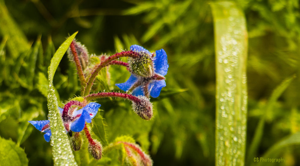 Dew Drops by Charlot Scicluna