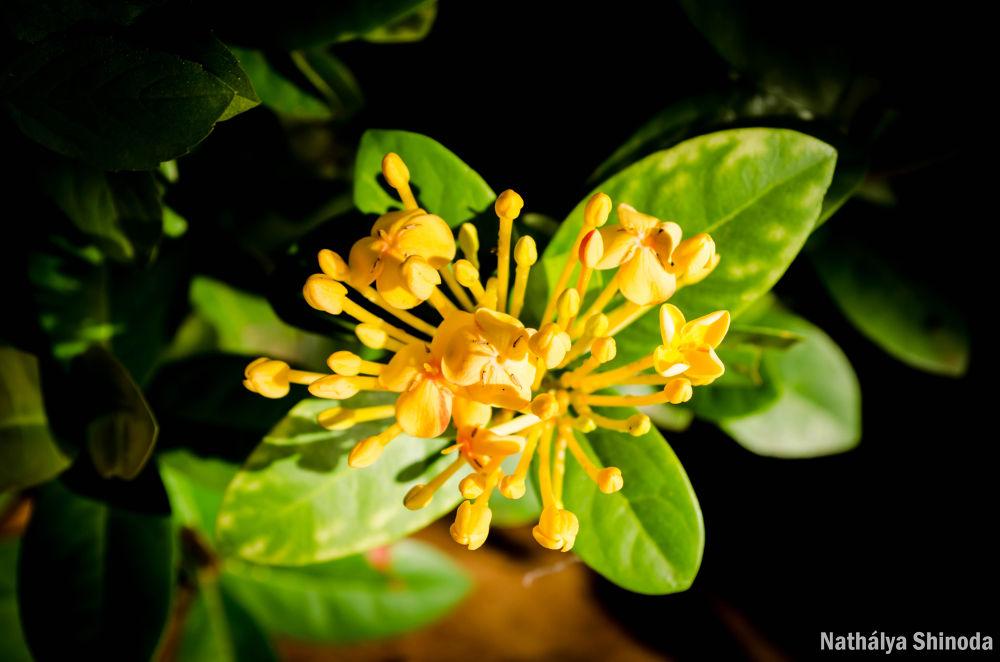 Flower by Nathálya Shinoda