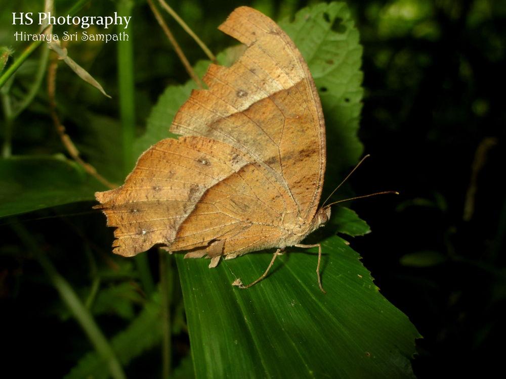 Common Evening Brown by Hiranya Sri Sampath
