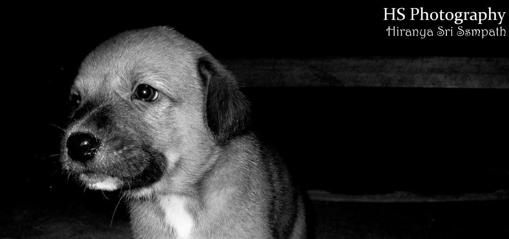 Cute Puppy by Hiranya Sri Sampath