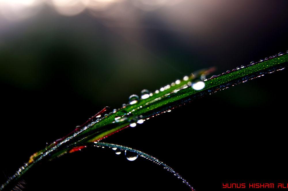 Morning Dew by YUNUS HISHAM ALI