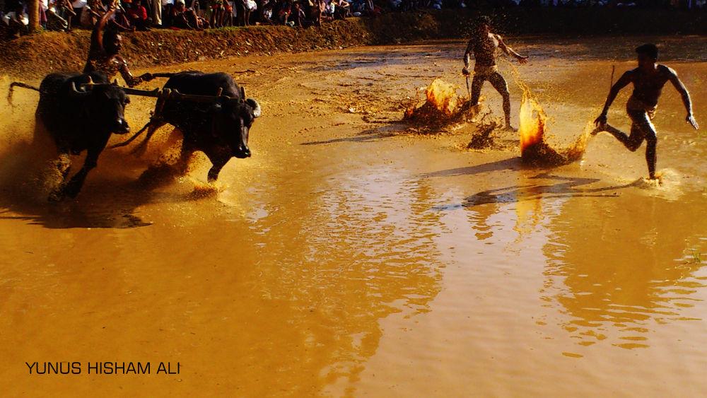 buffalo racing by YUNUS HISHAM ALI