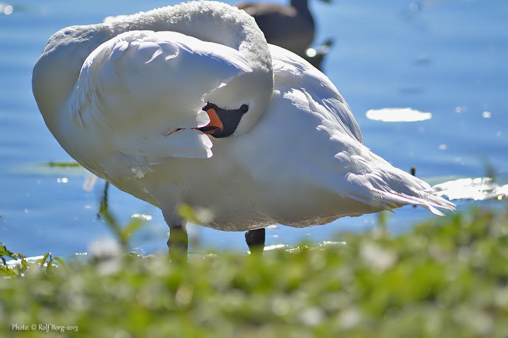 Mute swan by Rolf Borg