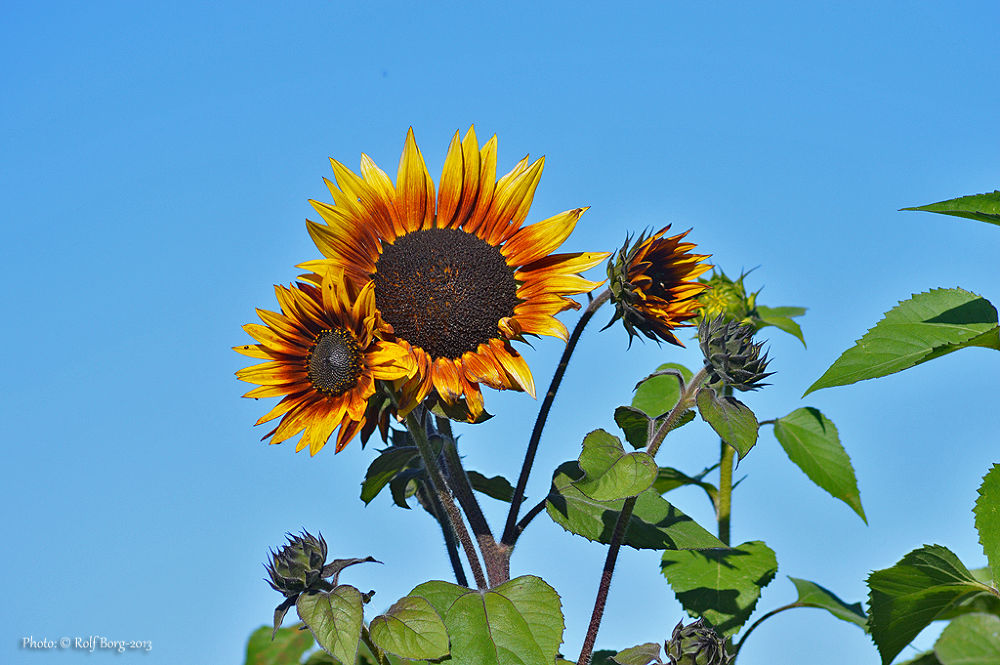 Sunflowers by Rolf Borg