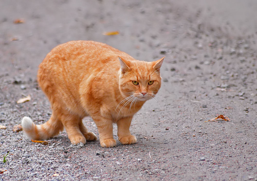 Cute red cat by Rolf Borg