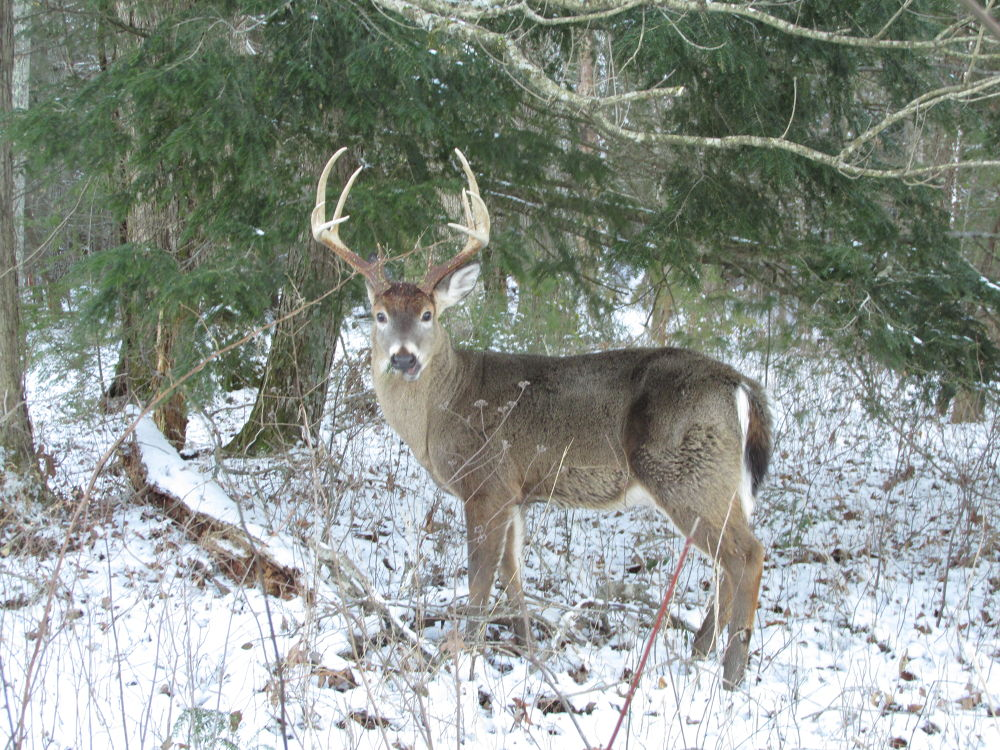 A Buck in the Snow on Sparks Lane by OneLaneRoadPhotography