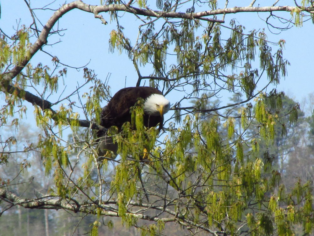 a Bald Eagle in a Box Elder Tree by OneLaneRoadPhotography
