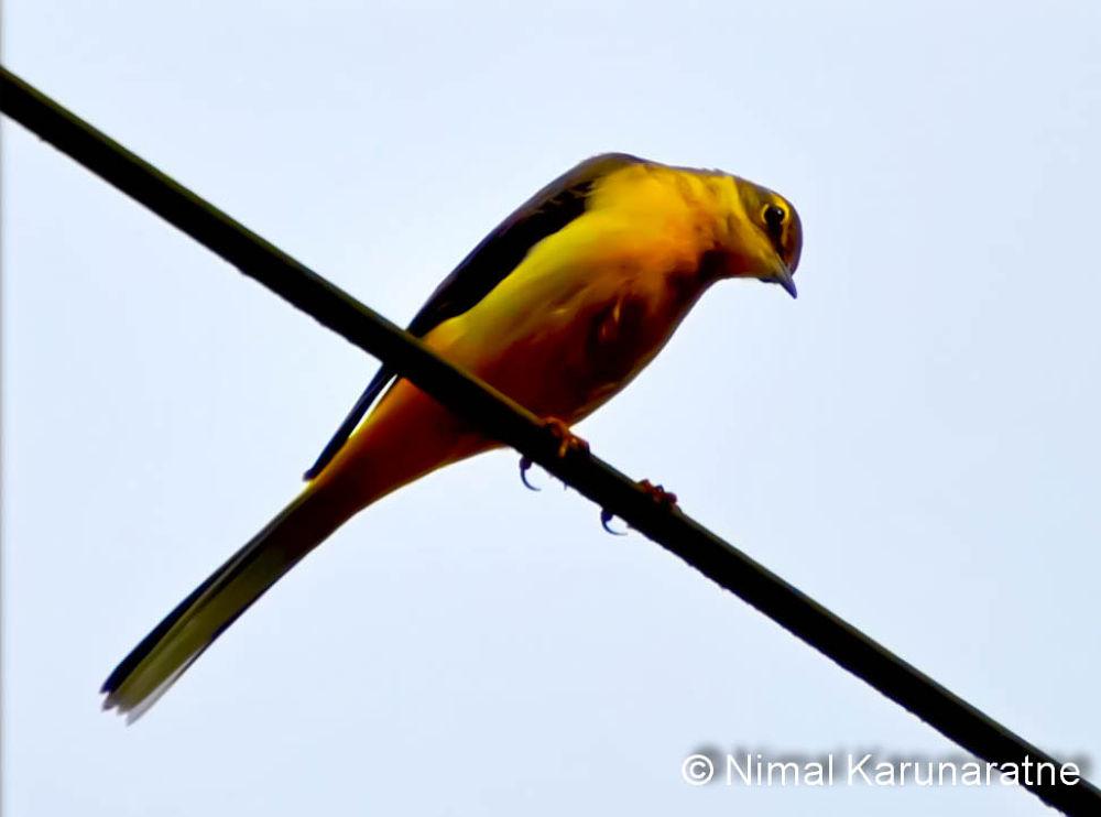 DSC_0047bird-2 by Nimal Karunaratne