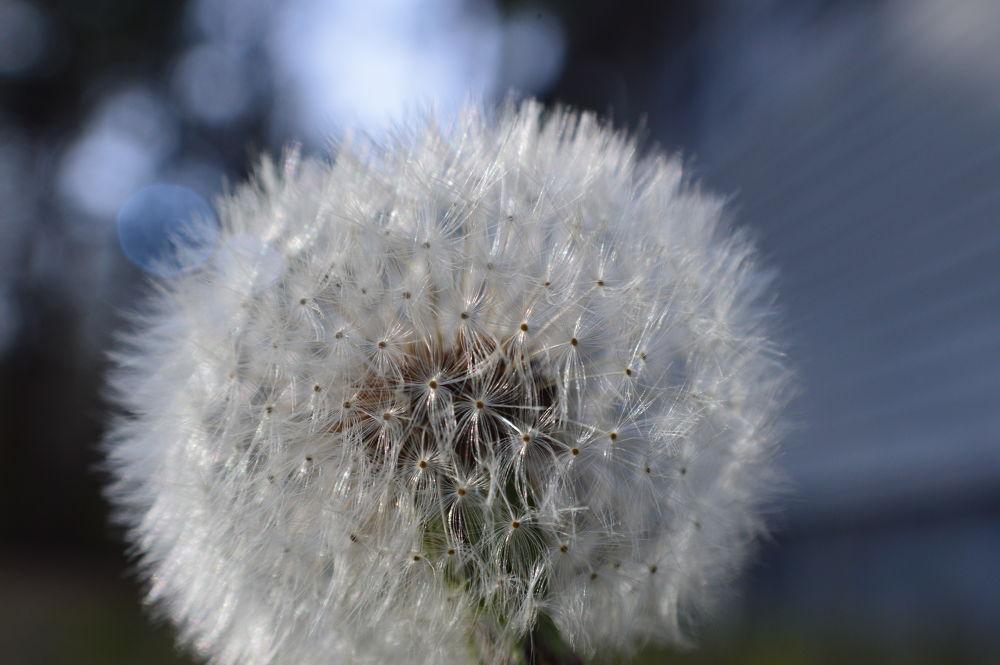 Dandelion by winodini