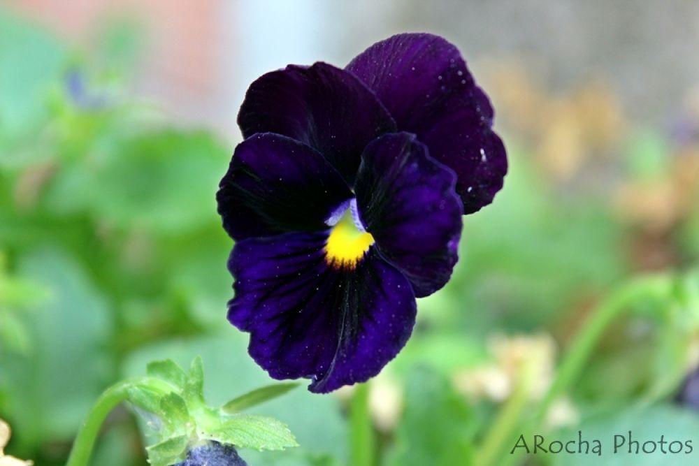 Purple by AROCHA