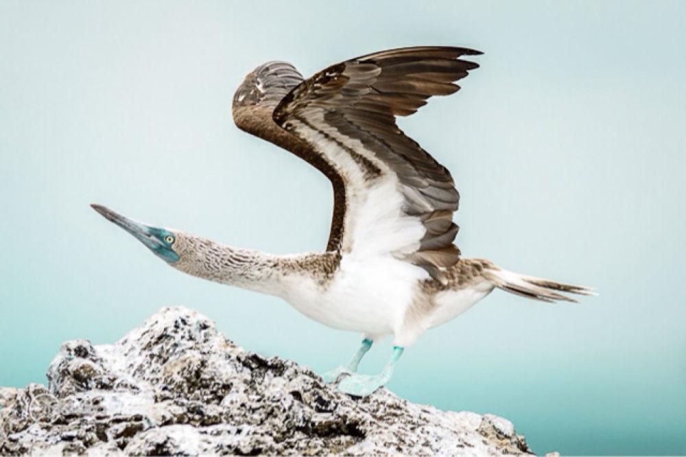 Piquero patas azules - Galápagos by creativouio