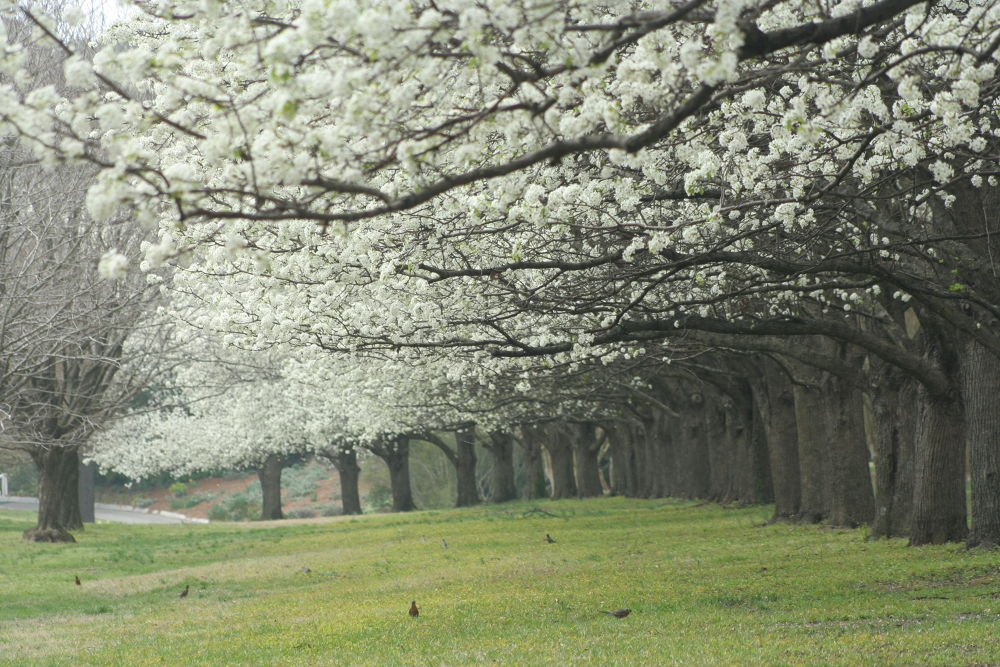 Cherry Blossom Way by Pete Federico