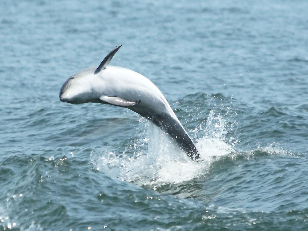 Dolphin Breach by Pete Federico