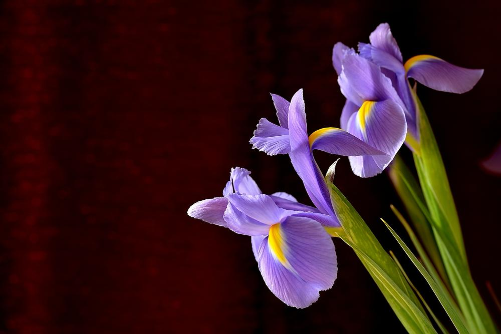 Photo in Nature #iris #flower #macro #simon harding #nikon #d800 #yellow #purple