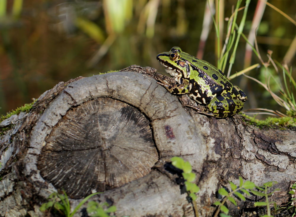 frog by Ralf Muhl