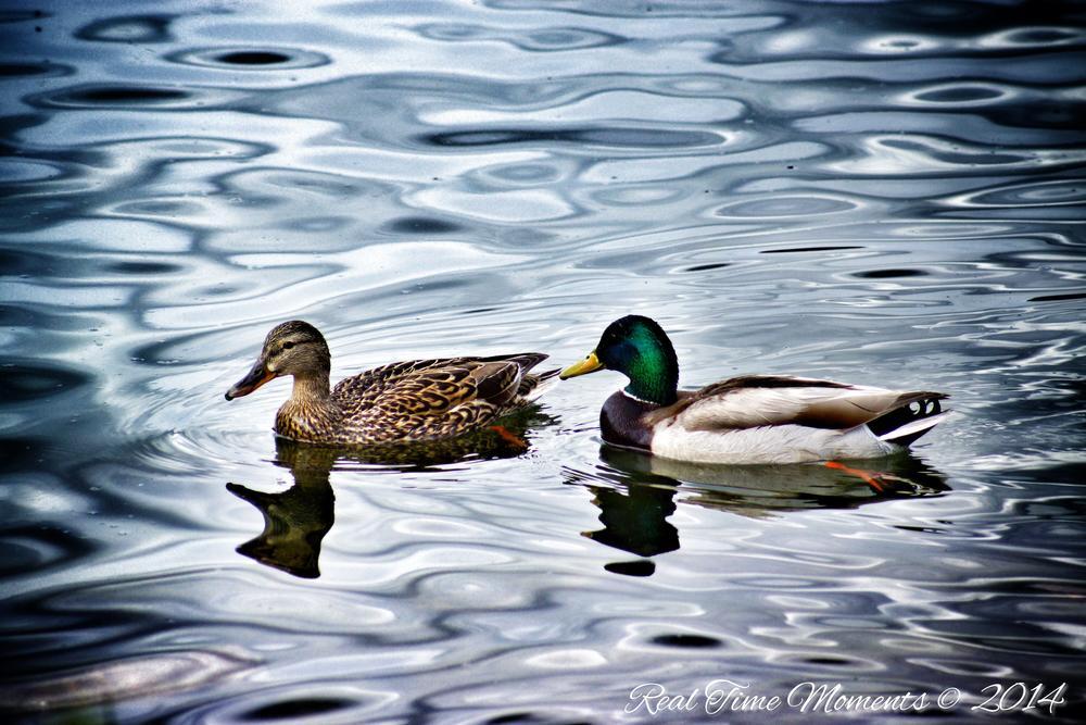 Photo in Nature #water #ducks #summer