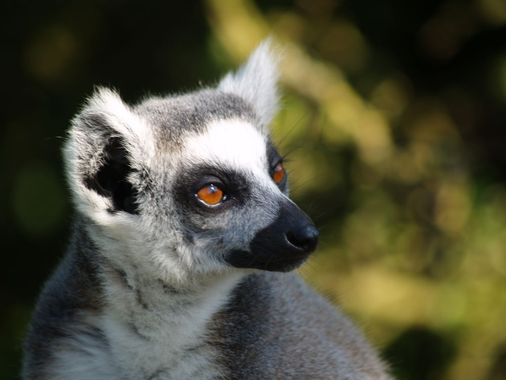 Ring Tailed Lemur by Nick Hill