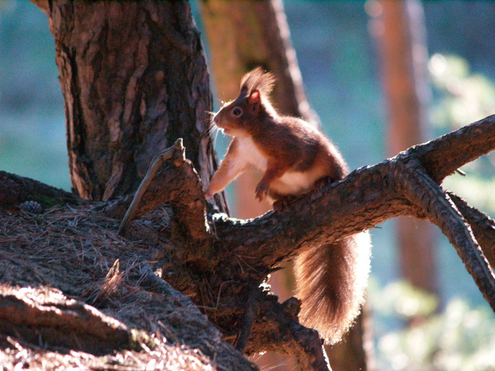 Red Squirrel - Formby Nature Reserve by Nick Hill