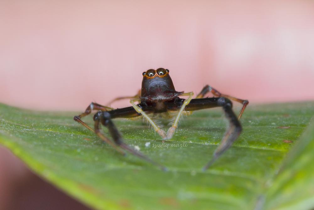 spider by syafiq mazli