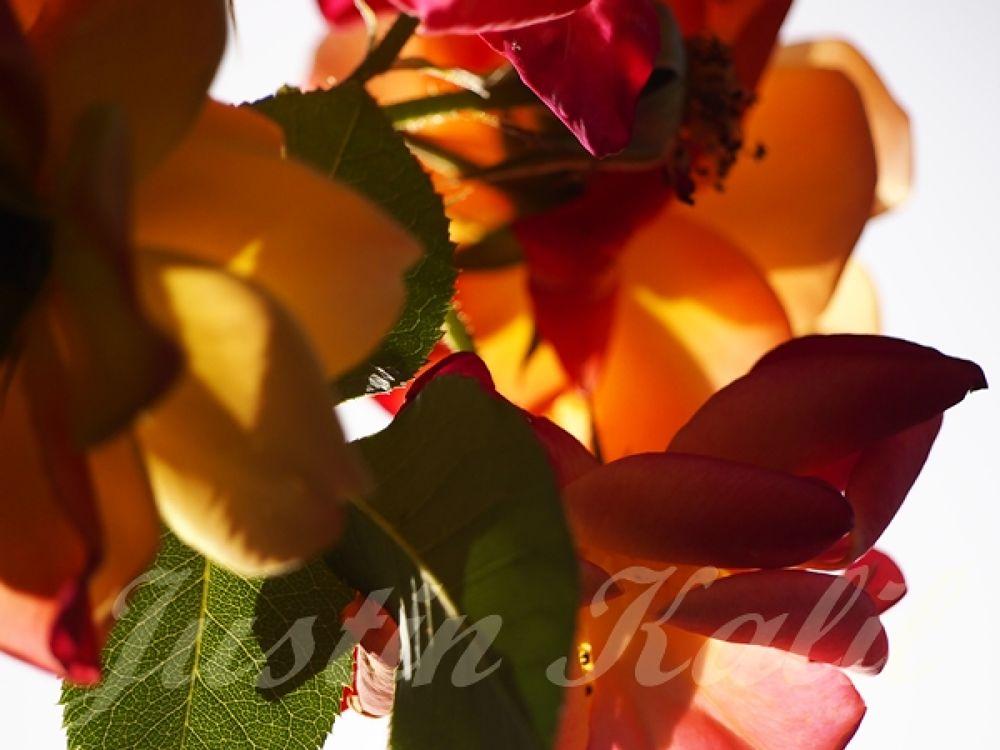 Roses008 by Jfunk