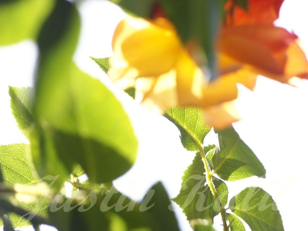 Roses006 by Jfunk