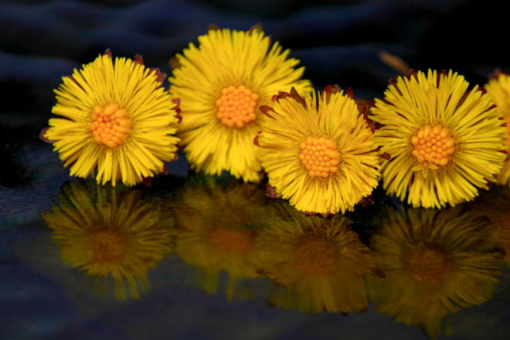 IMG_0034RowDandelions2 by JaniceArnottPhotography