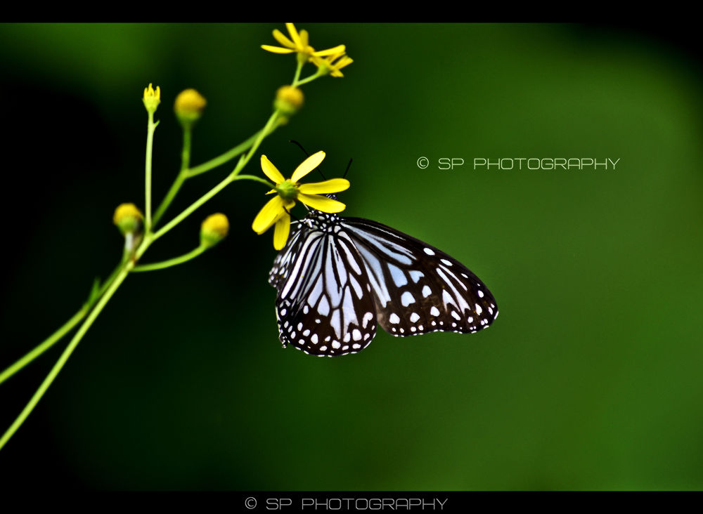 | Butterfly..... | by Sandesh Parab