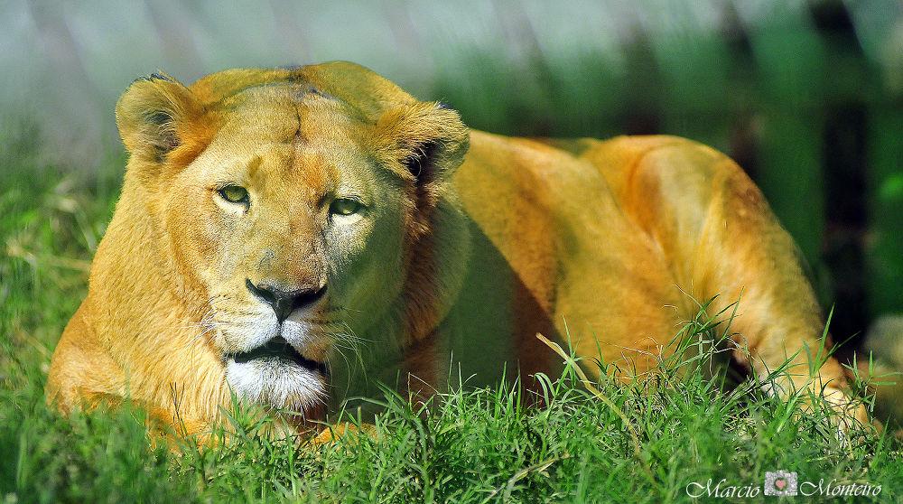 lioness by MarcioMonteiro