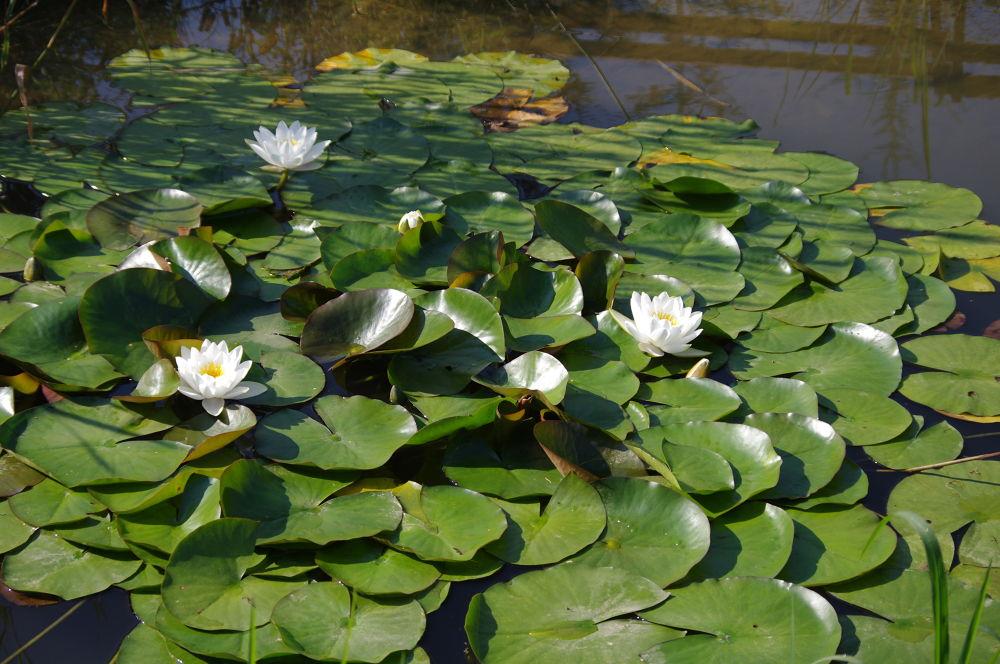 water lilies  by Ionela Garovat