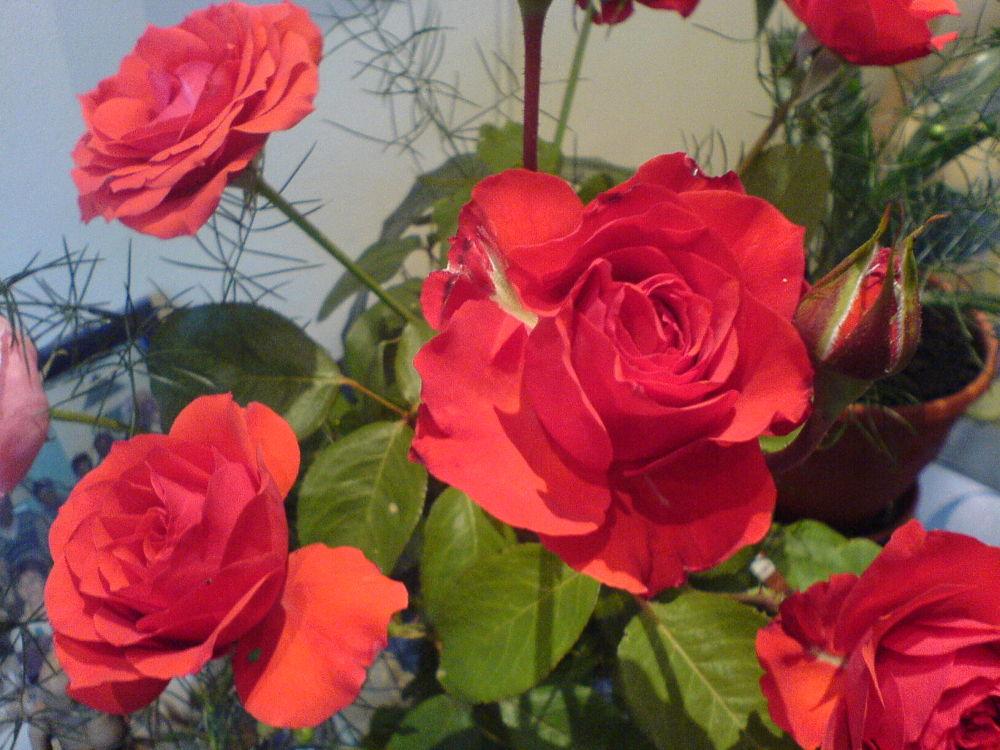 roses by Ionela Garovat