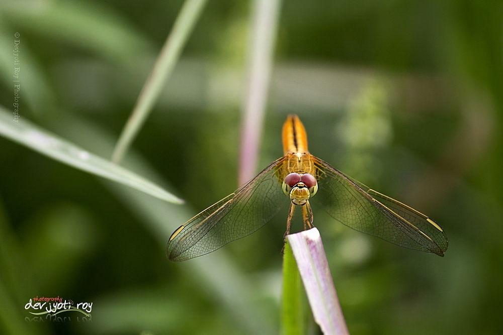Dragon  Fly by Devjyoti_Roy