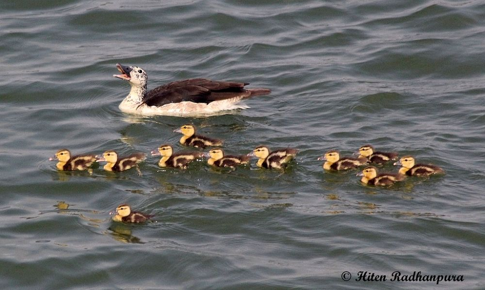 Hey Kids !! All Stay Together... (Comb Duck WIth Duckling) by HitenRadhanpura