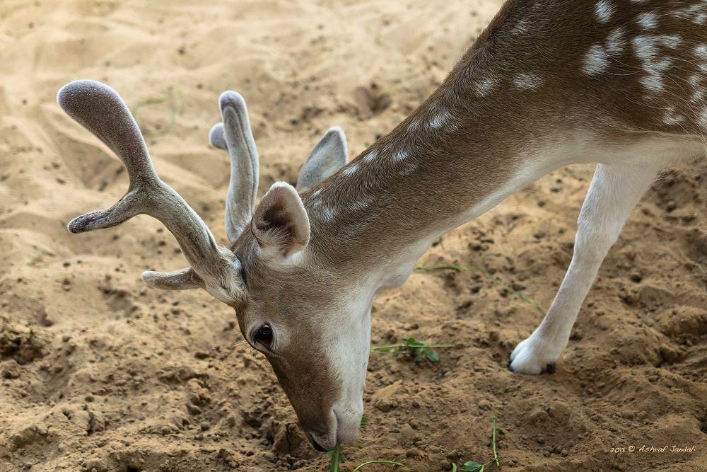Deer WM by ashrafmj