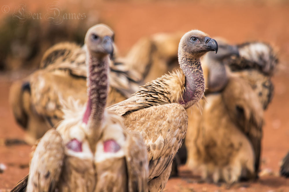 African Vultures by lendames