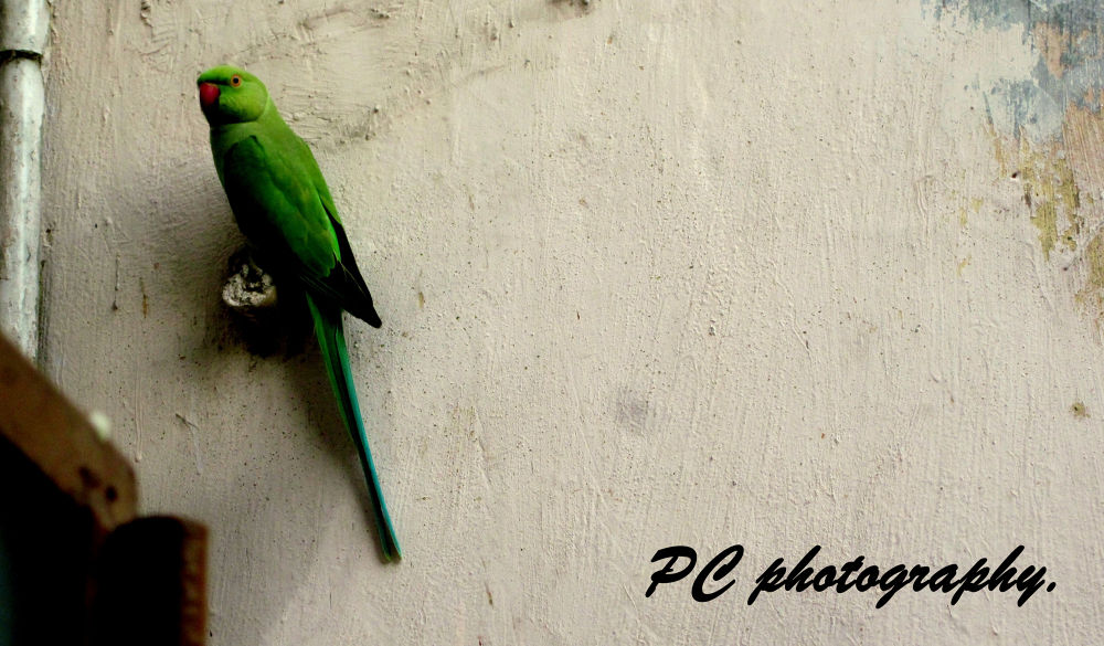 The Parrot  by Pranjay Chauhan