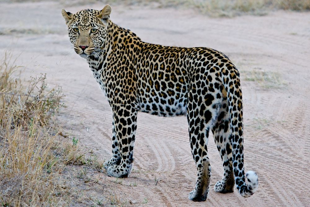 Leopard by matsuzawa