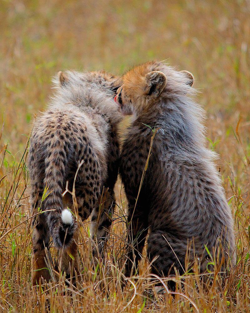 Cheetah Cubs by matsuzawa