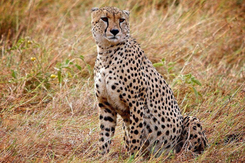 Cheetah by matsuzawa