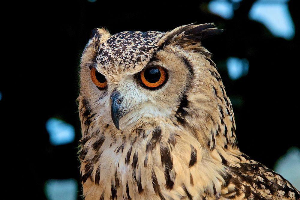 Cape Eagle Owl by matsuzawa