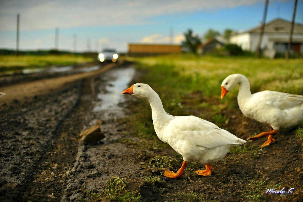 geese by Mirela Kecanovic