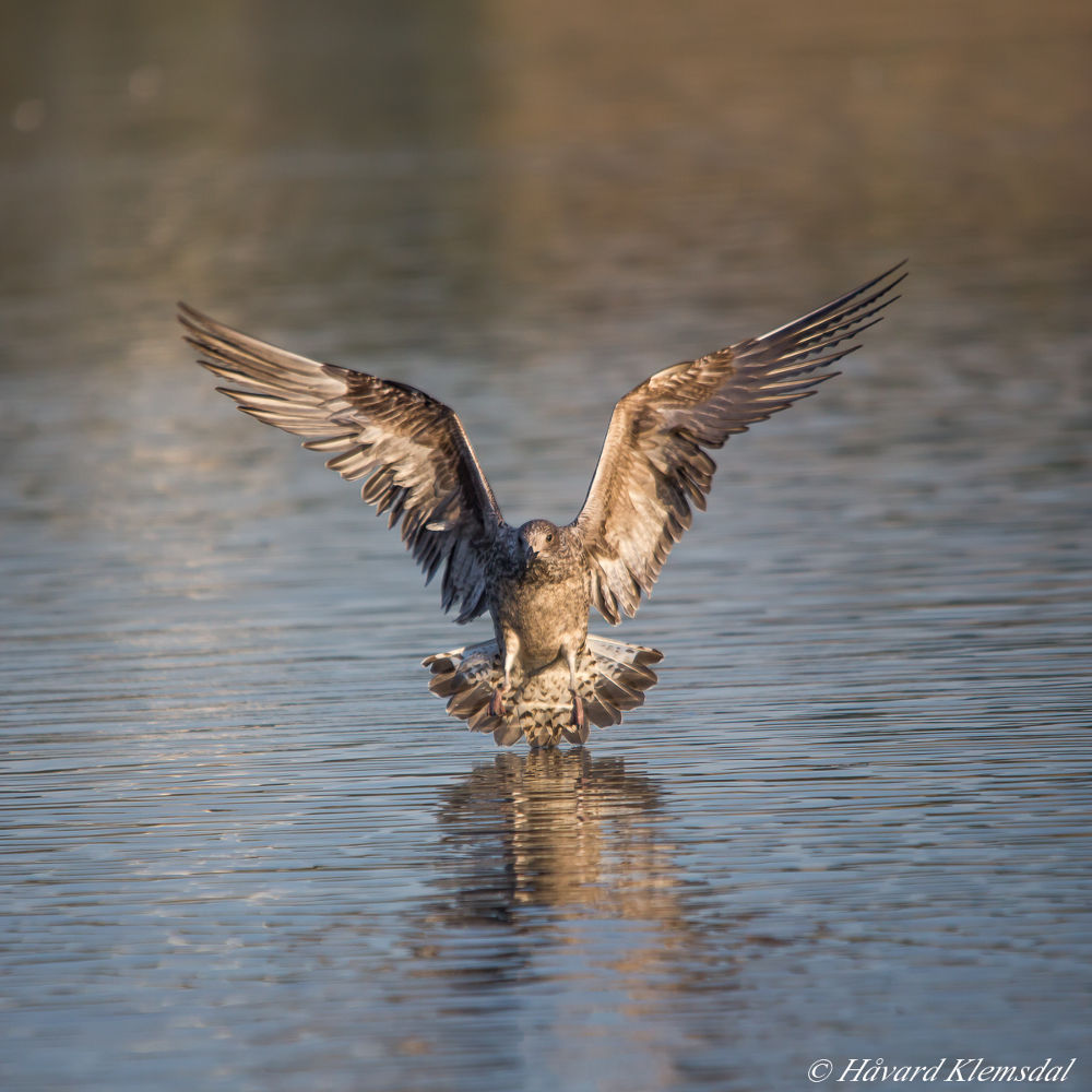 Seagull by Håvard Klemsdal