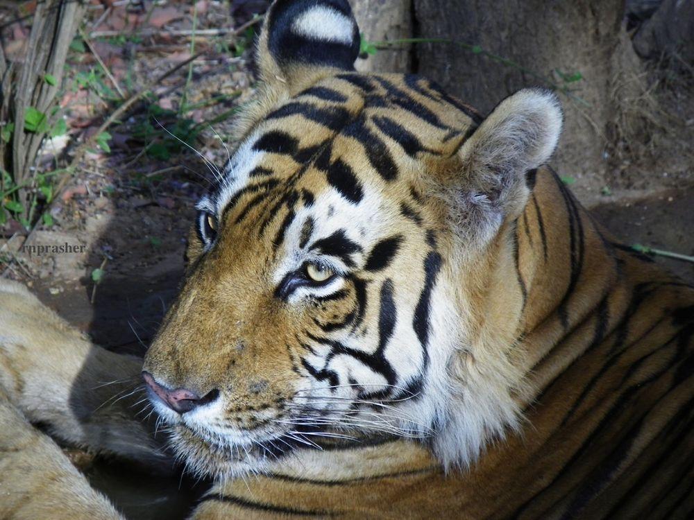 My shot at Ranthambore Tiger Reserve by RavindraPrasherPhotography