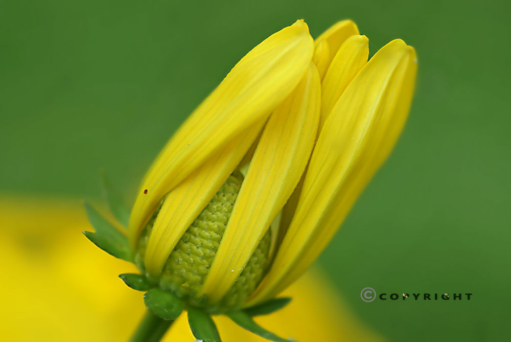 Beauteous Yellow by Pooja Moluse
