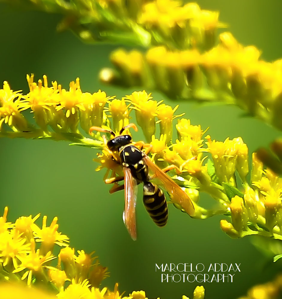 Wasp by musicartphoto