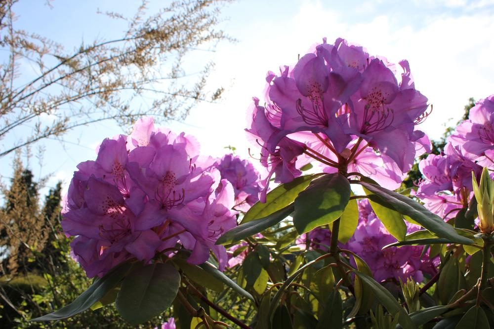 neighbours rhododendron by Christian Meyer