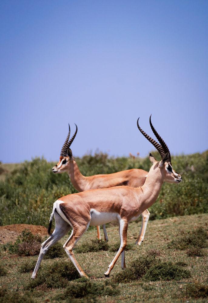 Impala by Suresh Ram