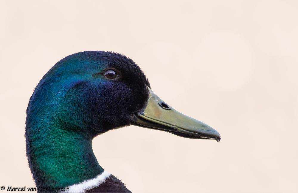 duck by Marcel van Oosterhout