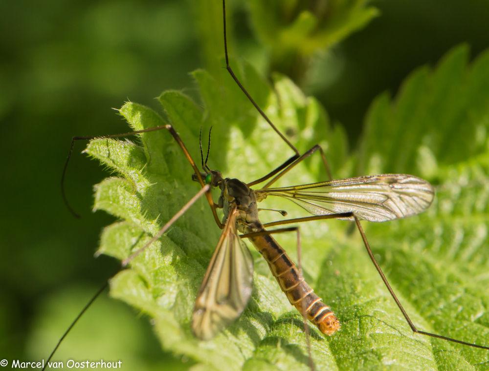 Tipula vernalis (mosquito specimen) by Marcel van Oosterhout
